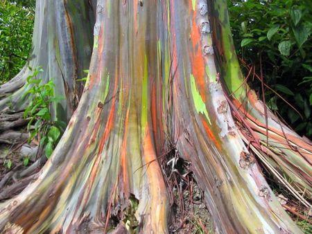 Mindanao Eucalyptus